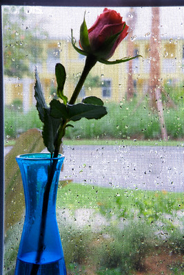 Rose in Window